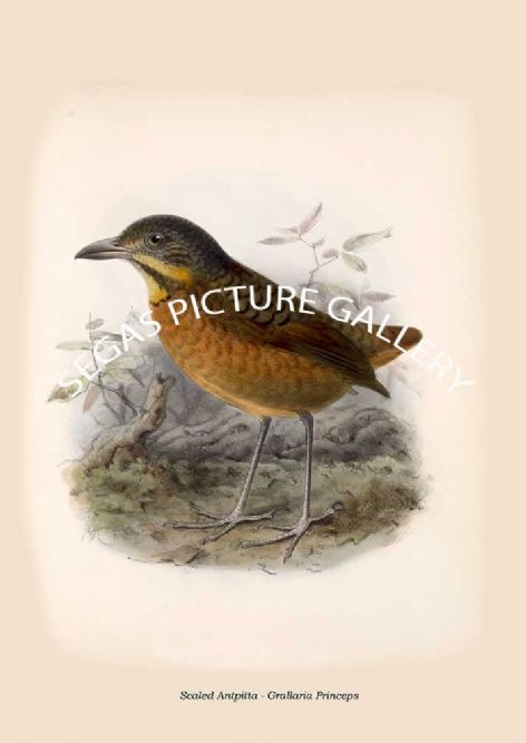 Fine art print of the Scaled Antpitta - Grallaria Princeps by Osbert Salvin & Frederick Duncane Godman (1879-1904)